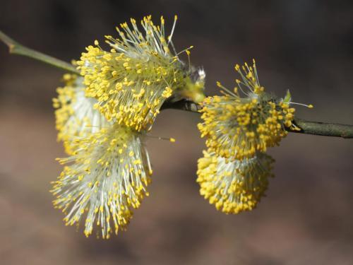 Kwiatostany męskie
