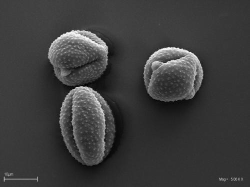 Ziarna pyłku bylicy